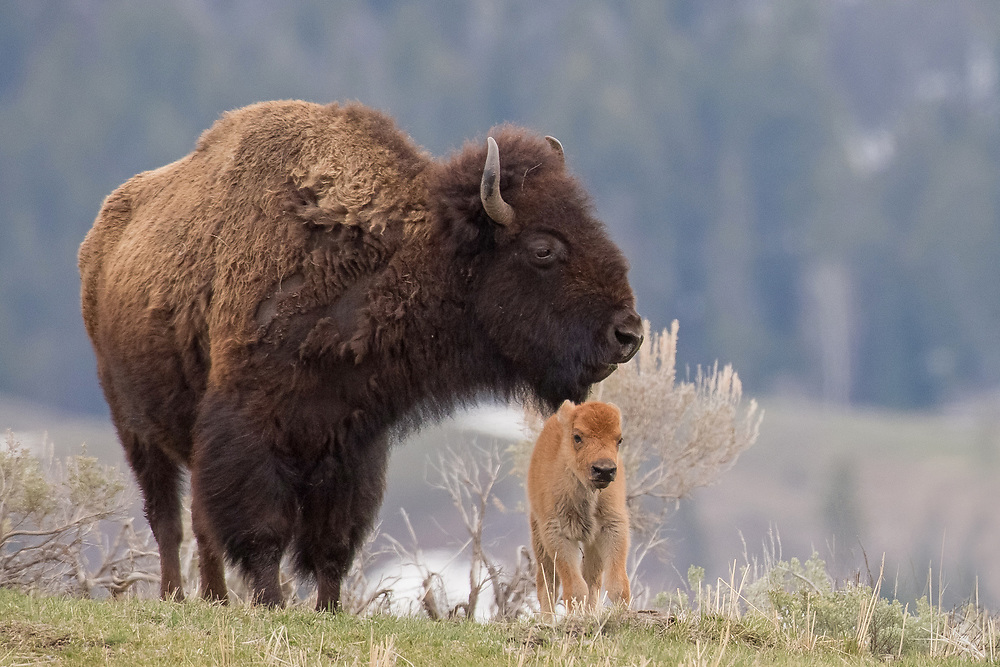 During the month of April, orange bison calves begin to dot the landscape in Yellowstone. These little calves weigh only 40-50 pounds when born, but quickly gain weight throughout the year.  By the time they mature, females will weigh up to 1100 pounds with big bulls topping out at a ton or more.