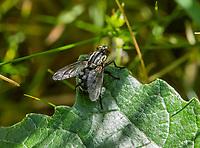 HALFWEG - insecten op de golfbaan , dambord vlieg , Amsterdamse Golf Club. (AGC)  . Insecteninventarisatie  COPYRIGHT KOEN SUYK