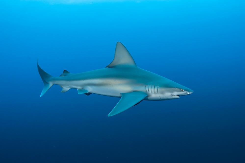 A Sandbar Shark, Carcharhinus plumbeus, swims offshore Jupiter, Florida, United States. IUCN Red List