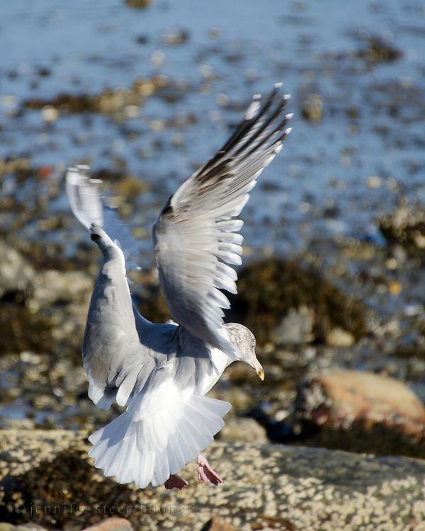 Herring Gull (Larus argentatus) landing on a rocky beach, Maine