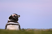 Magellanic Penguin (Spheniscus magellanicus)<br /> Volunteer Point, Johnson's Harbour, East Falkland Island. FALKLAND ISLANDS.<br /> RANGE: Juan Fernandez Island in Pacific, Islands along coast of Southern Chile to islands off Cape Horn, South Atlantic coast of Argentina up to Valdez Peninsula and Falkland Islands.<br /> These penguins are migrants and breed in the Falklands. They are fairly widely distributed in the Falklands. They nest in burrows beneath tussock pedestals. Breeding begins mid October. Incubation is 38-41 days and young are fully moulted by late January. Adults will vacate the site after their moult in March. They feed extensively on schooling fish and squid.