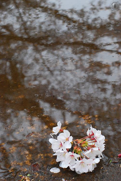A cherry blossom branch fallen by a pond.