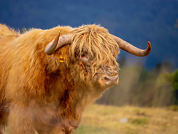 Profile view of Highland cattle on meadow at Auberge du Steinlebach, France