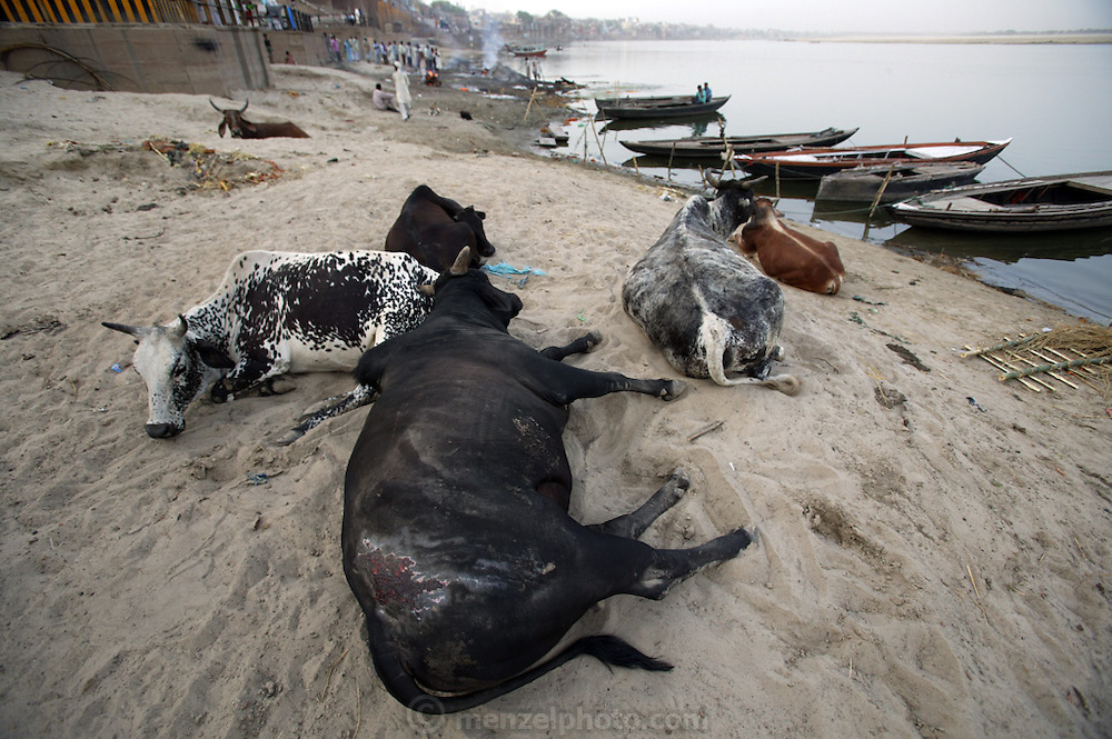 Cows lounge on the sandy shore of the Ganges River near the the Harishchandra Ghat (also known as the Harish Chandra Ghat) which is the smaller and more ancient of the two primary cremation grounds in Varanasi.  Death is part of the fabric of life for Hindus and like much of Indian society, takes place in open view.