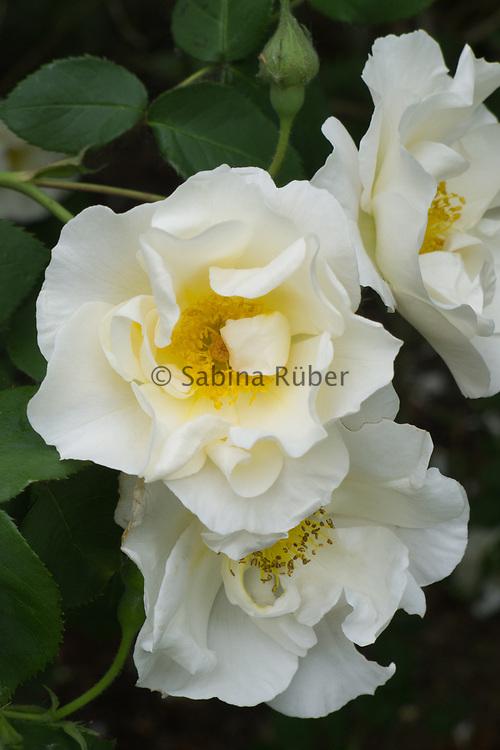 Rosa 'Mountain Snow' - rambling rose
