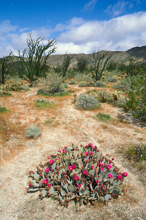 Beavertail Cactus and Ocotillo in bloom at Desert Garden, Anza-Borrego Desert State Park, California.