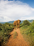 Elephant foraging on Sunset hill at Anantara Golden Triangle resort.
