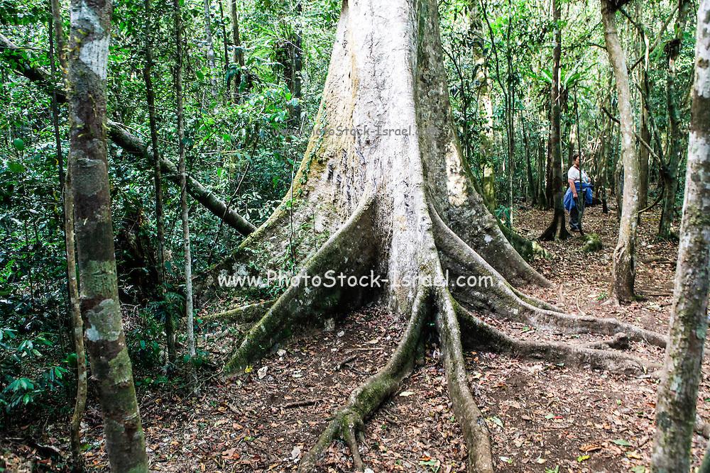 Madagascar, Ankarana Special Reserve. Roots of a ficus tree