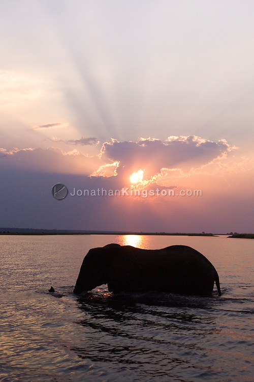 An elephant wades into the water for a sunset swim in the Chobe River, Chobe National Park, Botswana. This area is home to the largest concentration of elephants in Africa.