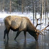 Elk, Rocky Mountain Elk - Cervus canadensis