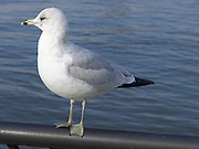seagull standing on a railing with water in the background