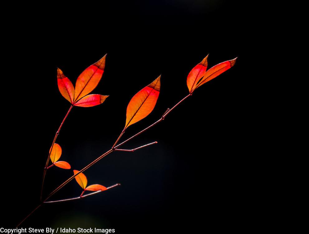 Spring foilage of colorful orange and brown backlit leaves against a dark background. USA