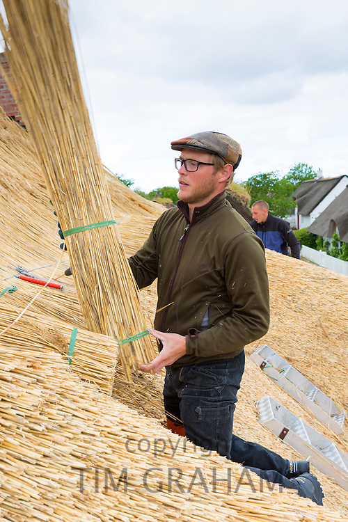 Thatchers thatching a new roof traditional method with stooks of reeds/rushes on thatched cottage at Fano Island, Denmark