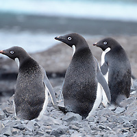 Adelie Penguins on Ross Island, Antarctica.