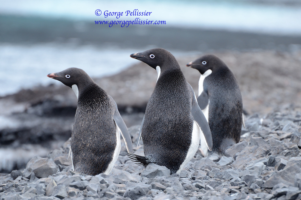 Adelie Penguins (Pygoscelis adeliae) on Ross Island, Antarctica.