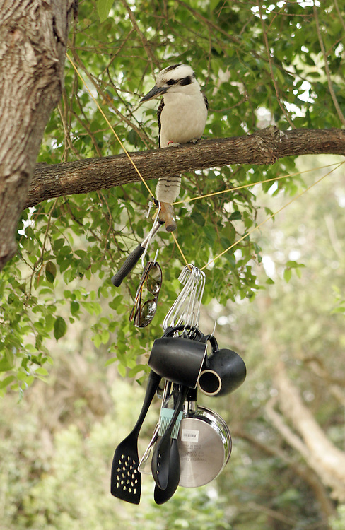 A Kookaburra on a branch at a campsite at Diamond Head in  Crowdy Bay National Park , nsw , Australia .