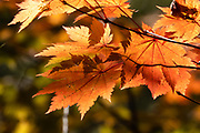 """Fall foliage colors. Kamikochi (""""Upper Highlands"""") is a high valley within the Hida Mountains, in Chubu-Sangaku National Park, Nagano Prefecture, Japan. Last logged in the mid 1800s, it is now a popular nature resort. Embraced within the """"Northern Alps"""" of the Japanese Alps, the valley floor ranges from 1400 m (4600 ft) to 1600 m (5200 ft) elevation. Its highest peak is Okuhotakadake (3190 m or 10,470 ft)."""