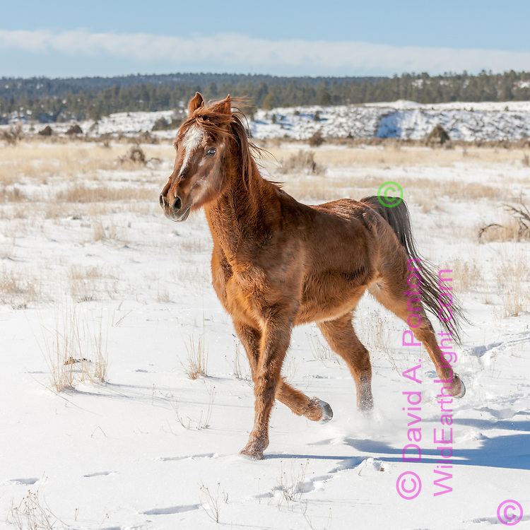 Arabian horse with winter coat running in fresh snow,in a field in northern New Mexico, © 2009 David A. Ponton