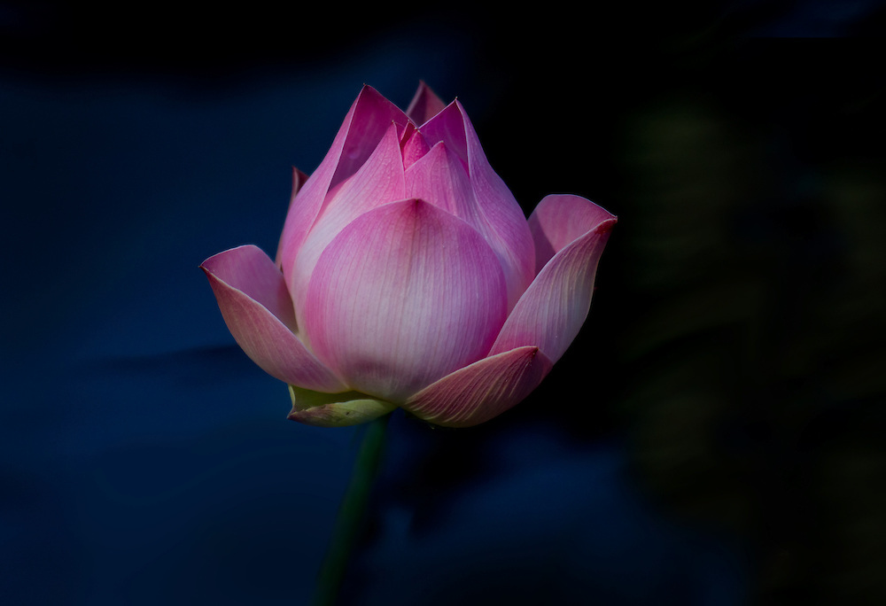 A lotus flower is just beginning to bloom at the lily pond.