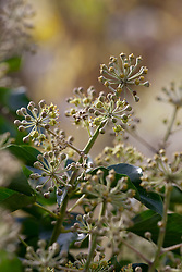 Common Ivy flowers. Hedera helix