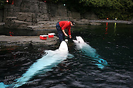 Woman trains beluga whales at the Vancouver Aquarium; Vancouver, British Columbia, Canada.