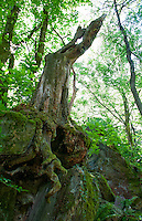 Gnarly old tree with roots clinging onto the rocks at the waterfall above Aurigeno, Ticino, Switzerland.