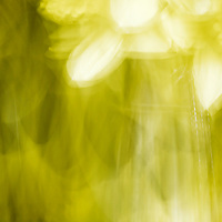 Motion blur of a daffodil.