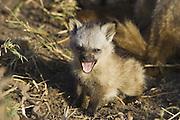 Bat-eared fox<br /> Otocyon megalotis<br /> 4 week old pup(s) yawning<br /> Masai Mara Reserve, Kenya