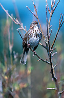 Song Sparrow (Melospiza melodia), Gabriola Island - Clark Bay, British Columbia, Canada   Photo: Peter Llewellyn