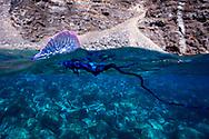 07/Abril/2014 Islas Canarias. El Hierro<br /> Inmersi&oacute;n el Barco Chino con Buceo La Restinga.<br /> Carabela portuguesa.<br /> <br /> &copy; JOAN COSTA