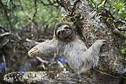 Pygmy three-toed sloth<br /> Bradypus pygmaeus<br /> Isla Escudo de Veraguas, Panama