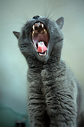 Cat Yawning with Tongue Sticking Out