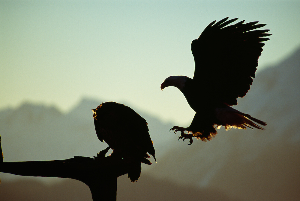 Silhouette of Bald Eagles