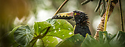 A very wet collared aracari (Pteroglossus torquatus) peeks through the cecropia leaves, hoping for an end to the rain. Soberanía National Park, Panama.