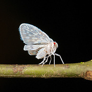 A forest planthopper from the family Derbidae. Seen in Khao Yai National Park.