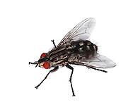 Flesh Fly - Sarcophaga carnaria