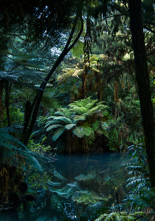 Deep in the New Zealand jungle, tree ferns and forest reflect in still water.