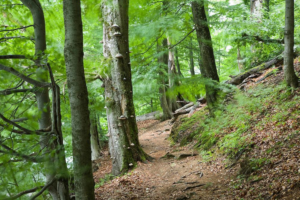 Buchenwald, Morske Oko Reservat, Ost-Slowakei / Beech forest, Fagus sylvatica, Morske Oko Reserve, East Slovakia