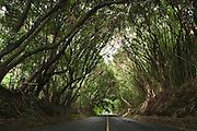 Tree tunnel on Old Pali Highway in Nuuanu valley, Oahu, Hawaii