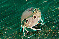 Lembeh Strait in N Sulawesi is famous for its unusually high marine biodiversity, particularly of unusual animals that live on the exposed sand areas.