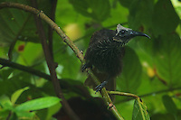 White-streaked Friarbird (Melitograis gilolensis).<br />Endemic species to Halmahera Island, Indonesia.