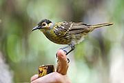 Macleay's Honeyeater bird perches on man's finger, Daintree Rainforest, Queensland, Australia