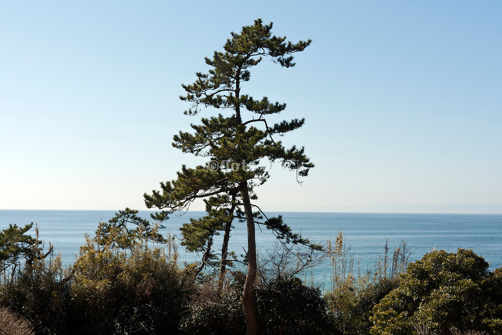 pine tree with sea view Japan