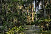 Lake Martin Swampscene