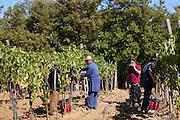 Men picking Sangiovese Chianti Classico grapes at Pontignano in Chianti region of Tuscany, Italy