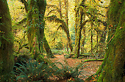 Hall of Mosses Trail in Hoh Rainforest, Olympic National Park, Washington.