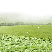 Sheep graze on a gentle rolling hillside on a farm in Snowdonia, Wales.