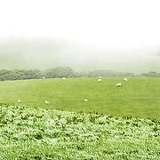 Sheep graze on a gentle rolling hillside on a farm in Snowdonia, Wales.