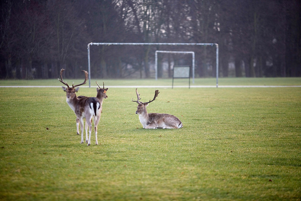 Dublin. Roe deer rest on playing fields in the  park.