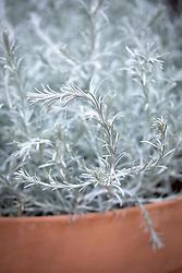Calocephalus brownii 'Silver Cushion' syn. Leucophyta brownii. Cushion bush